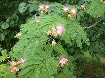 Scrabble 4: Arbustes et Arbres à feuillage décoratif. Alju0790