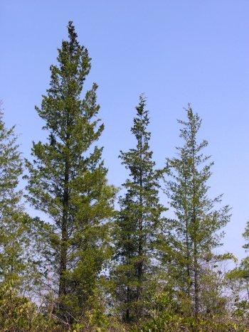 Atlantic Whitecedar (Chamaecyparis thyoides) tree