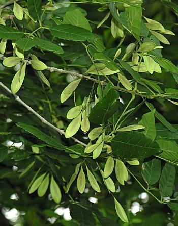 Carolina Ash (Fraxinus caroliniana) fruit