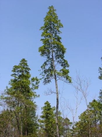Loblolly Bay (Gordonia lasianthus)
