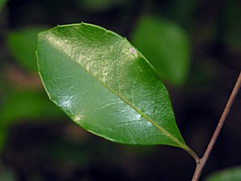 Large Gallberry (Ilex coriacea) leaf