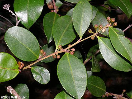 Shining Fetterbush (Lyonia lucida) fruits