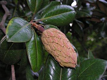 Southern Magnolia (Magnolia grandiflora) fruit