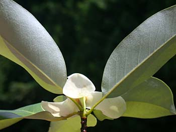Sweetbay (Magnolia virginiana) leaf
