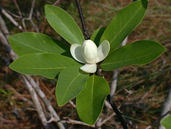 Sweetbay (Magnolia virginiana) flower
