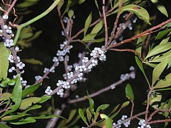Wax Myrtle (Morella cerifera)