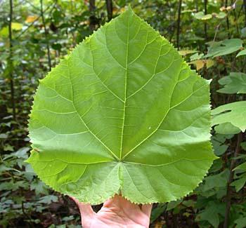 Princesstree (Paulownia tomentosa)