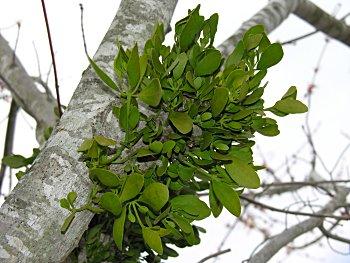 Earths Internet Natural Networking Mistletoe Former Demonized