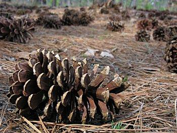 Longleaf Pine (Pinus palustris) cone