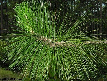 Longleaf Pine (Pinus palustris) leaves