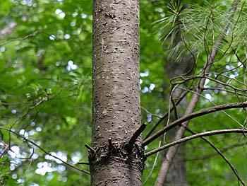 Eastern White Pine (Pinus strobus)