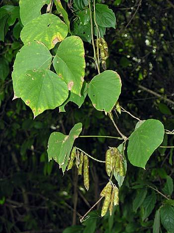 Kudzu (Pueraria montana var. lobata)