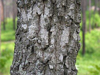 Turkey Oak (Quercus laevis) bark