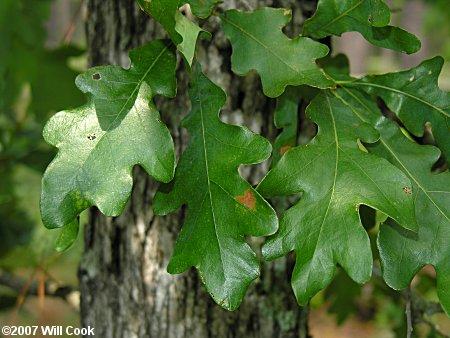 Sand Post Oak (Quercus margaretta)