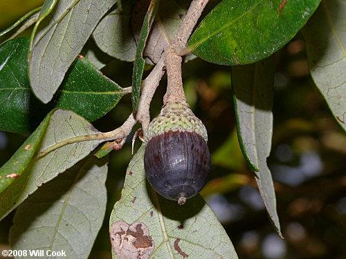 Live Oak (Quercus virginiana) acorn