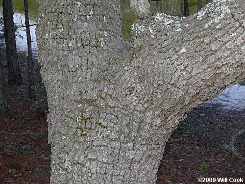 Live Oak (Quercus virginiana) bark