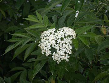 Common Elderberry (Sambucus canadensis) flowers