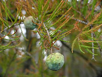 Pondcypress (Taxodium ascendens)
