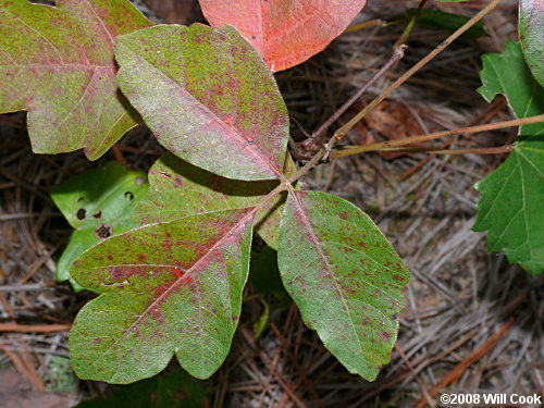 poison oak pictures on skin. Atlantic Poison-Oak