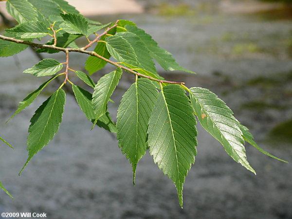 American elm tree bark for American elm