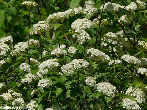 Downy Arrowwood (Viburnum rafinesquianum)