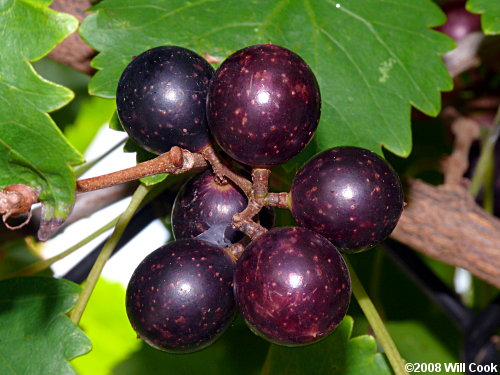 Muscadine Grape (Vitis rotundifolia)